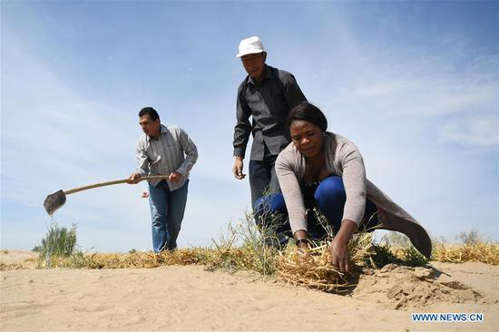 Nakanyala Elina Shekupe (1st R) learns desert control in Minqin County, northwest China's Gansu Province, Aug. 26, 2018. Shekupe, 37, is an agricultural technology official from Namibia. She and 11 other students are taking part in a desertification combating and ecological restoration training course organized by China's Ministry of Commerce in Gansu.