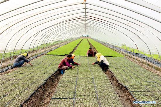 Farmers arrange Chinese cabbage seedlings in a greenhouse in Yangzhou City, east China's Jiangsu Province, Sept. 11, 2018. (Xinhua/Shen Dongbing)