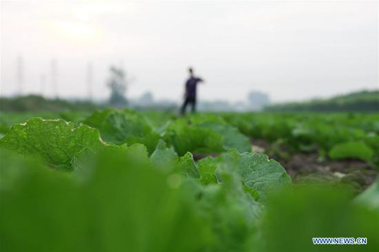 A farmer arranges cabbage in the field in Mafang Village, Tangshan City of north China's Hebei Province, Sept. 11, 2018. (Xinhua/Liu Mancang)