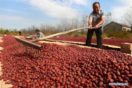 Farmers dry harvested dates in Malan Village, Xianxian County, north China's Hebei Province, Oct. 7, 2018. (Xinhua/Fu Xinchun)