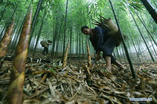 Farmers dig bamboo shoots in Lianhua Village of Baoyuan Township, Chishui, southwest China's Guizhou Province, Oct. 14, 2018. There are 1.32 million mu (0.88 million hectares) of bamboo forests in Chishui. The bamboo-related industry has become an income booster for the locals. (Xinhua/Wang Changyu)