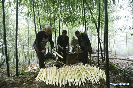Farmers shell bamboo shoots in Lianhua Village of Baoyuan Township, Chishui, southwest China's Guizhou Province, Oct. 14, 2018. There are 1.32 million mu (0.88 million hectares) of bamboo forests in Chishui. The bamboo-related industry has become an income booster for the locals. (Xinhua/Wang Changyu)