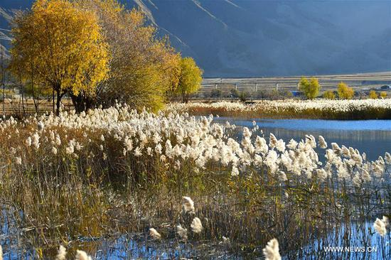 Photo taken on Nov. 4, 2018 shows reed flowers in a wetland in Qushui County of Lhasa, southwest China's Tibet Autonomous Region. (Xinhua/Wang Quanquan)