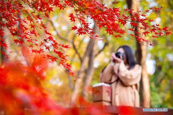 A tourist takes photo of maple leaves at a botanical garden in Nanjing, east China's Jiangsu Province, Nov. 24, 2018. (Xinhua/Su Yang)