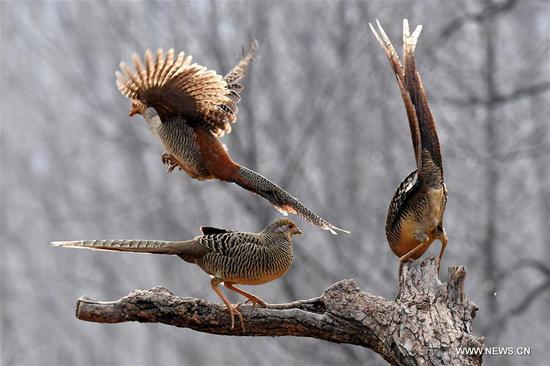Three golden pheasants sport in the woods of Mengcun Village in Ruyang County, central China's Henan Province, March 5, 2019. (Xinhua/Li An)