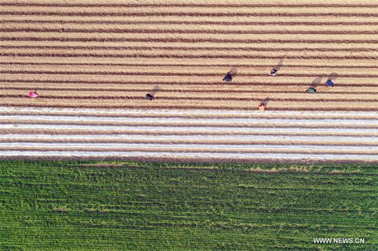 Aerial photo taken on March 6, 2019 shows farmers planting traditional Chinese medicine herbs in Dachen Village, Weigang Township, Qiaocheng District of Bozhou, east China's Anhui Province. This Wednesday marks the day of