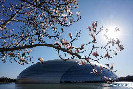 Photo taken on March 12, 2019 shows Yulan magnolia flowers in front of the National Center for the Performing Arts (NCPA) in Beijing, capital of China. (Xinhua/Ju Huanzong)