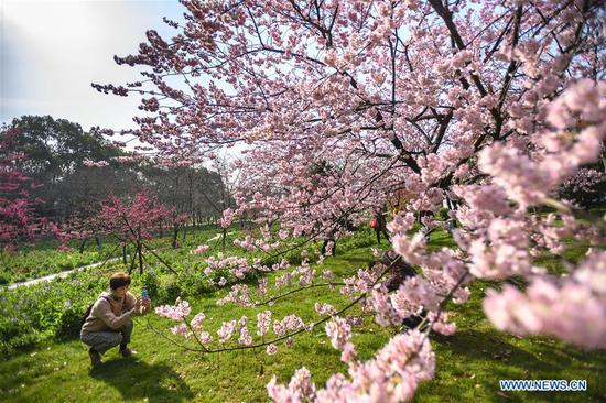 Tourists take photos of cherry blossoms by the East Lake in Wuhan, central China's Hubei Province, March 13, 2019. (Xinhua/Xiong Qi)