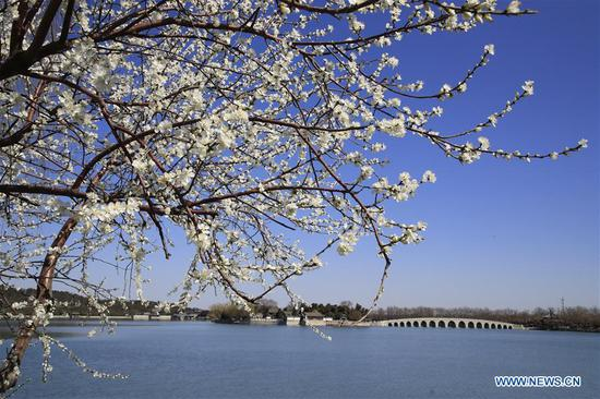 Photo taken on March 13, 2019 shows the blossoms in the Summer Palace in Beijing, capital of China. (Xinhua/Liu Xianguo)