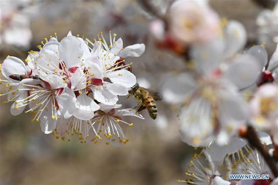A honeybee is seen among blooming apricot flowers in Tangwang Township of Dongxiang Autonomous County, Linxia Hui Autonomous Prefecture, northwest China's Gansu Province, April 3, 2019. (Xinhua/Liu Jie)