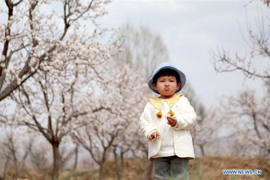 A child walks in an apricot forest in full bloom in Tangwang Township of Dongxiang Autonomous County, Linxia Hui Autonomous Prefecture, northwest China's Gansu Province, April 3, 2019. (Xinhua/Li Xiao)