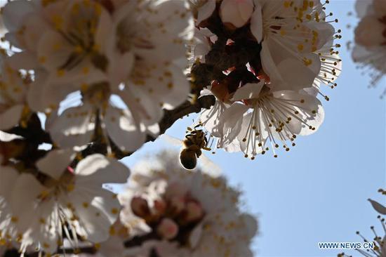 A honeybee is seen among blooming apricot flowers in Tangwang Township of Dongxiang Autonomous County in Linxia Hui Autonomous Prefecture, northwest China's Gansu Province, April 3, 2019. (Xinhua/Liu Jie)