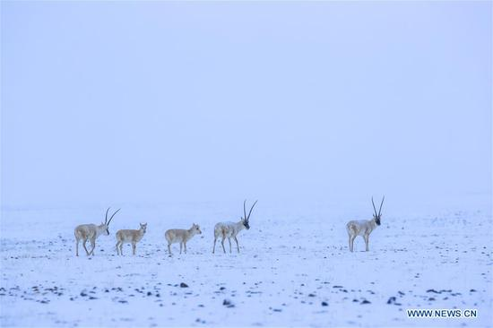 Photo taken on March 31, 2019 shows Tibetan antelopes in the Altun Mountains National Nature Reserve in northwest China's Xinjiang Uygur Autonomous Region. Altun Mountain National Nature Reserve saw the number of three rare wild animals reach around 100,000, according to local researchers. The population of wild yak, Tibetan antelope and wild ass is recovering to the level of recorded data in the 1980s when the reserve was first set up, the results of the latest scientific investigation showed. The reserve suspended all mining activities within its 46,800-square-km parameter in 2018 in an effort to restore its environment. (Xinhua/Hu Huhu)