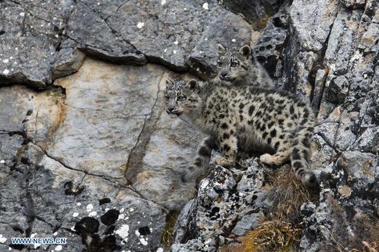 Photo taken on Oct. 22, 2017 shows two snow leopard cubs at Three-river-source National Park in northwest China's Qinghai Province.