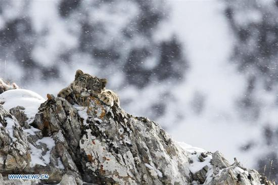 Photo taken on Oct. 26, 2017 shows a snow leopard at Three-river-source National Park in northwest China's Qinghai Province.
