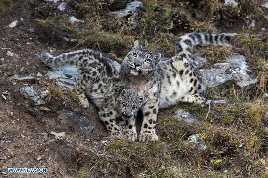 Photo taken on Oct. 22, 2017 shows a snow leopard with its cub at Three-river-source National Park in northwest China's Qinghai Province.