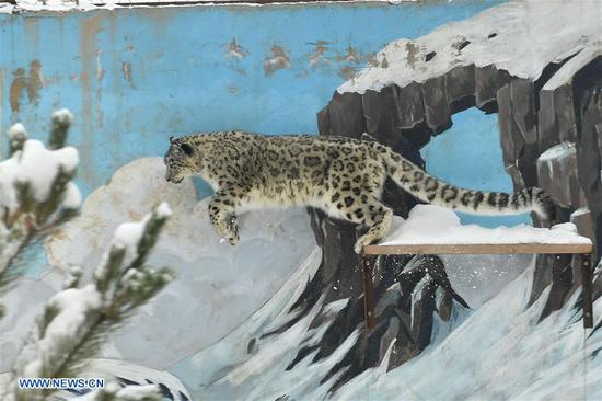 A snow leopard jumps in the snow-covered Xining Wildlife Park in Xining, capital of northwest China's Qinghai Province, on Nov. 7, 2018.