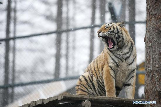 A Siberian tiger yawns at a tiger park as snow falls in Hailin, northeast China's Heilongjiang Province, April 18, 2019. (Xinhua/Wang Jianwei)