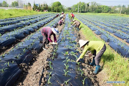 Farmers plant corn seedlings in Ximen Village of Shouchang Township, Jiande, east China's Zhejiang Province, April 18, 2019. (Xinhua/Ning Wenwu)