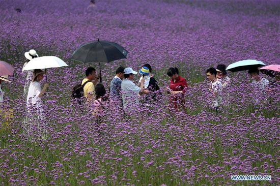 Tourists visit a verbena field at Binjiang Park in Nanning, south China's Guangxi Zhuang Autonomous Region, April 21, 2019. (Xinhua/Zhou Hua)