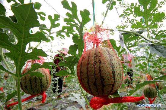 Farmers take care of watermelons at a greenhouse in Yuelou Village of Shizhong District, Zaozhuang, east China's Shandong Province, May 5, 2019. Farmers have been busy with agricultural production in the farming season around Lixia, a solar term in the Chinese calendar which signifies the beginning of summer. (Xinhua/Sun Zhongzhe)