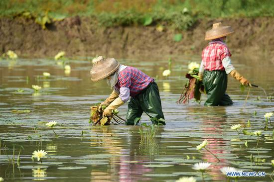 Farmers take care of a lotus pond in Jiaji Township of Qionghai, south China's Hainan Province, May 5, 2019. Farmers have been busy with agricultural production in the farming season around Lixia, a solar term in the Chinese calendar which signifies the beginning of summer. (Xinhua/Meng Zhongde)