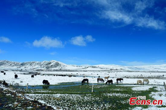 Snow covers the Hongyuan Prairie in Ngawa Tibetan and Qiang Autonomous Prefecture, Southwest China's Sichuan Province, May 7, 2019, after a cold front hit. The vast grassland is a tourist attraction in the province. (Photo: China News Service/Mou Jinghong)