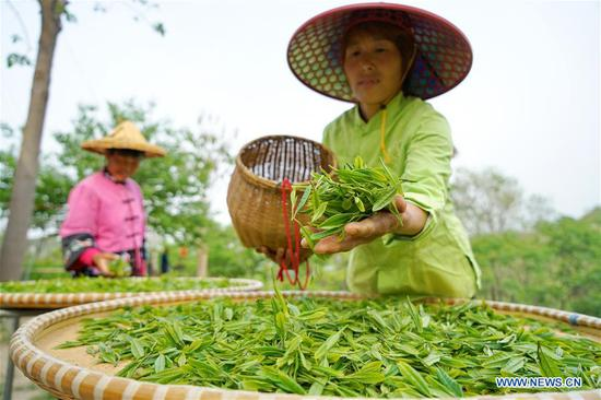 Workers air newly-picked tea leaves at Qu Baomin's tea garden at Tonghua Village in Lincheng County, north China's Hebei Province, May 7, 2019. In 2012, Qu Baomin and his wife Yang Suzhen contracted 30 mu (two hectares) of lands to plant tea at the village. Over the years, Qu has dedicated to organically farming his tea garden to ensure high tea quality, by which his products have been well received in some big cities across the country, including Beijing and Tianjin. Under his leading in tea planting, over 100 people living in surrounding areas have been lifted out of poverty. (Xinhua/Mu Yu)