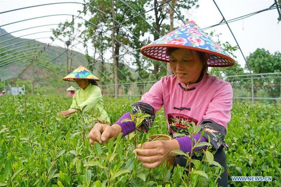 Workers pick tea leaves at Qu Baomin's tea garden at Tonghua Village in Lincheng County, north China's Hebei Province, May 7, 2019. In 2012, Qu Baomin and his wife Yang Suzhen contracted 30 mu (two hectares) of lands to plant tea at the village. Over the years, Qu has dedicated to organically farming his tea garden to ensure high tea quality, by which his products have been well received in some big cities across the country, including Beijing and Tianjin. Under his leading in tea planting, over 100 people living in surrounding areas have been lifted out of poverty. (Xinhua/Mu Yu)