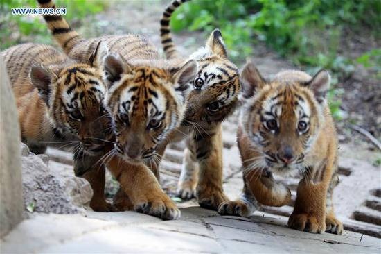 South China Tiger cubs are seen at a zoo in Luoyang, central China's Henan Province, May 11, 2019. Six South China Tiger cubs, who were born in the zoo at the beginning of this year, are now allowed to meet the public. (Xinhua/Liu Gaoyang)