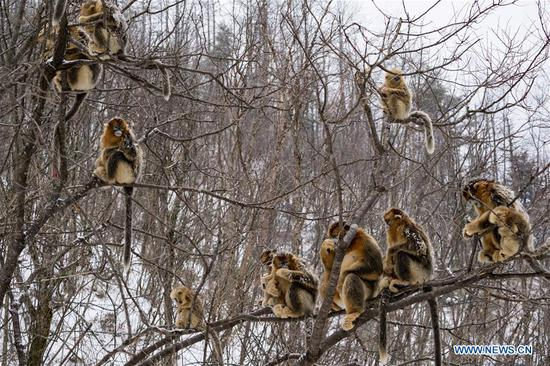 Photo taken on Jan. 25, 2018 shows golden monkeys in Shennongjia National Park of central China's Hubei Province. (Xinhua/Du Huaju)