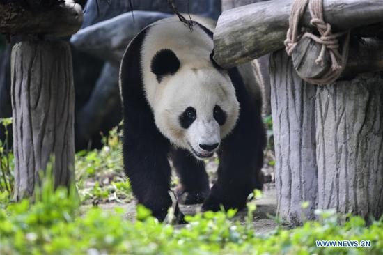 Photo taken on May 16, 2019 shows giant panda Xiao Liwu at the Qingchengshan Base of the China Conservation and Research Center for Giant Pandas in Dujiangyan, southwest China's Sichuan Province. Two giant pandas have returned to China after staying in the United States for years. Twenty-seven-year-old female giant panda Bai Yun and its son, six-year-old Xiao Liwu, arrived in Sichuan Province on Thursday, after the San Diego Zoo's conservation loan agreement with China ended. (Xinhua/Xue Yubin)