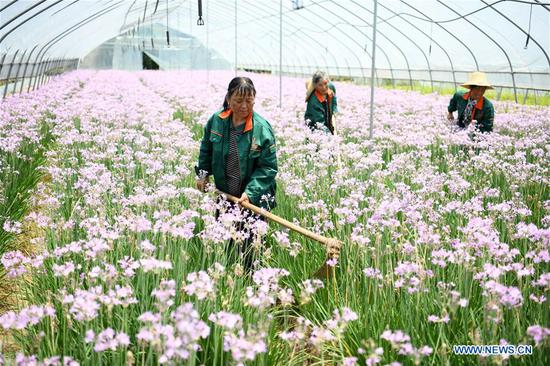 Staff members weed for flowers at a planting base in Tongyang Town of Chaohu City, east China's Anhui Province, May 23, 2019. With efforts of Tongyang Town on development of eco-leisure agriculture concerning flower and seedling planting, local famers have found a new way to increase their income. (Xinhua/Liu Junxi)