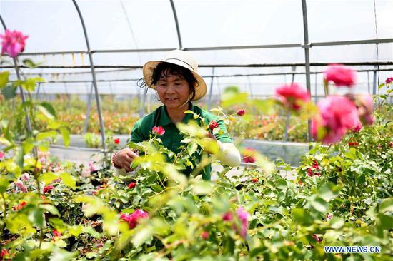 A staff member trims flowers at a planting base in Tongyang Town of Chaohu City, east China's Anhui Province, May 23, 2019. With efforts of Tongyang Town on development of eco-leisure agriculture concerning flower and seedling planting, local famers have found a new way to increase their income. (Xinhua/Liu Junxi)