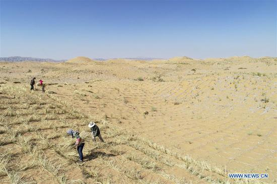 Aerial photo taken on June 13, 2019 shows people paving straw checkerboard sand barriers to prevent and control desertification in Changliushui desert area of Zhongwei City, northwest China's Ningxia Hui Autonomous Region. Located on the southern edge of the Tengger Desert, Zhongwei City has been curbing desertification by making straw checkerboard sand barriers and sowing with grass seeds. Some 1,470,000 mu (about 98,000 hectares) of desert has been processed in Zhongwei by the end of 2018. (Xinhua/Feng Kaihua)