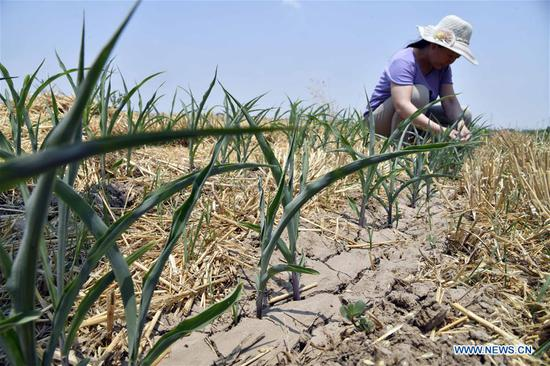 Photo taken on June 27, 2019 shows drought-affected corn fields at Rendezhuang Village of Haowangzhuang Township in Wucheng County, east China's Shandong Province. Severe drought is affecting east China's Shandong Province. The latest statistics showed that the drought had inflicted damage on about 17.838 million mu (1.19 million hectares) of crops, which accounted for 21.9 percent of the whole crop area in fields. Shandong authorities have launched an emergency response against the drought. (Xinhua/Guo Xulei)
