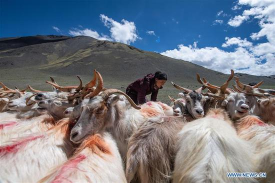 A herdswoman milks sheep in Rutog County of Ngari Prefecture, southwest China's Tibet Autonomous Region, Aug. 4, 2019. China's agriculture sector has seen rapid growth over the past 70 years, with grain output expanding 4.8 times, according to a report from the National Bureau of Statistics (NBS). China's grain output grew at an average annual rate of 2.6 percent from 1949 to reach 658 billion kg in 2018, managing to feed around 20 percent of the world's population with only less than 9 percent of the world's arable land, according to the report. The country increased the diversity of food supply by developing the breeding industry, with the output of aquatic products ranking first in the world since 1989, which stood at 64.6 million tonnes in 2018, 143 times higher than 1949. The structure of the agriculture industry was continuously optimized, with a modern pattern promoting all-round development of farming, forestry, animal husbandry and fishery replacing the traditional farming pattern, the NBS said. Scale operation of agriculture was enhanced by the progress of rural land circulation. Over 35 million hectares of family contracted farmland was circulated in 2018, posing a sharp contrast to the 58 million mu in 2004. The country also fostered new types of entities of agricultural production and service. By the end of 2018, 600, 000 family farms and 2.17 million farmer cooperatives had been registered. (Xinhua/Jigme Dorje)