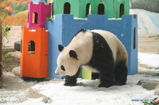 Sijia plays at Giant Panda House in the ski resort of Yabuli, northeast China's Heilongjiang Province, Aug. 12, 2019. Giant panda Sijia, born in 2006, moved to Yabuli in July 2016 from southwest China's Sichuan Province. The panda house celebrated Sijia's 13th birthday on Monday. (Xinhua/Wang Song)