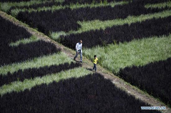 Tourists walk in rice fields in Nadaqiniru Township of Qapqal Xibe Autonomous County, northwest China's Xinjiang Uygur Autonomous Region, Aug. 18, 2019. (Xinhua/Sadat)