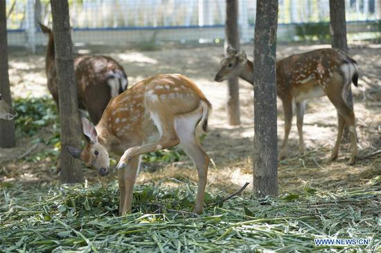 Deers are seen at Xiongan citizen service center in Xiongan New Area, north China's Hebei Province, Aug. 30, 2019. According to the Administrative Committee of Xiongan New Area, Xiongan has entered a phase of large scale construction. (Xinhua/Xing Guangli)