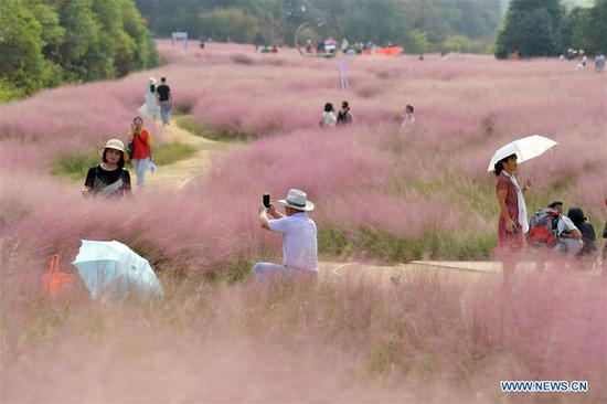 Tourists view a vast carpet of pink muhly grass in the Fenghuanggou scenic area during the National Day holiday in Nanchang, capital of east China's Jiangxi Province, Oct. 6, 2019. (Xinhua/Peng Zhaozhi)