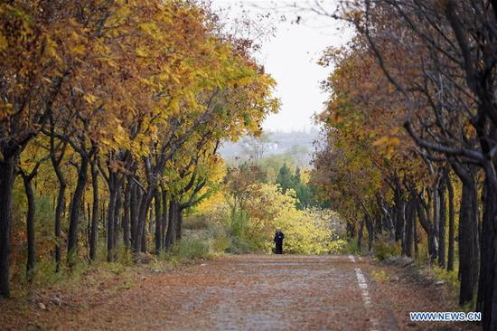 A man visits a ginkgo forest in Luanxie Village of Shahe City, north China's Hebei Province, Oct. 31, 2019. The Taihang mountains attract lots of visitors as the leaves change colors in autumn. (Xinhua/Xing Guangli)