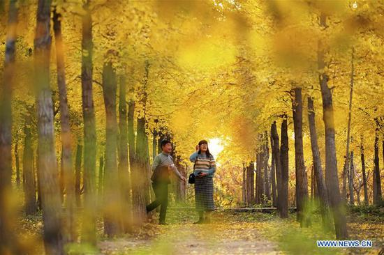 People visit a ginkgo forest in Luanxie Village of Shahe City, north China's Hebei Province, oct. 31, 2019. The Taihang mountains attract lots of visitors as the leaves change colors in autumn. (Xinhua/Xing Guangli)
