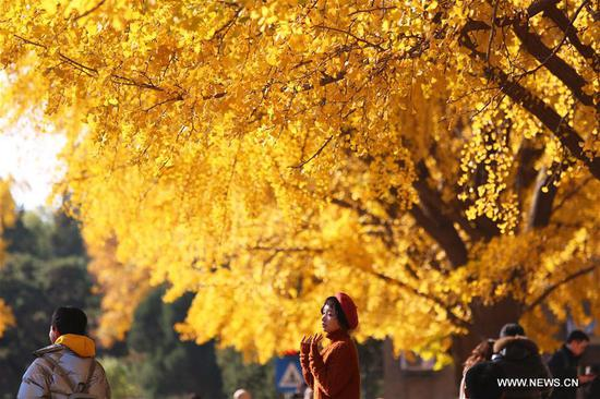A girl poses for a photo with the golden ginkgo tree on the background at Tsinghua University in Beijing, capital of China, Nov. 7, 2019. (Xinhua/Li Jing)