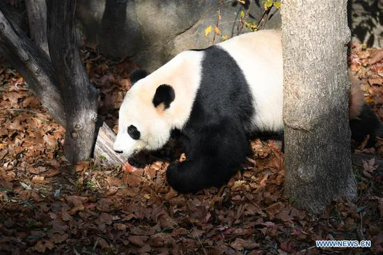 U.S.-born male giant panda Bei Bei is seen at the Smithsonian's National Zoo in Washington D.C., the United States, on Nov. 11, 2019. A weeklong farewell party for U.S.-born male giant panda Bei Bei, who is to depart the Smithsonian's National Zoo for China later this month, kicked off here on Monday. Bei Bei's departure, scheduled for Nov. 19, is part of the U.S. national zoo's cooperative breeding agreement with the China Wildlife Conservation Association that all cubs born here shall move to China after the fourth birthday. Bei Bei turned four on Aug. 22. (Xinhua/Liu Jie)