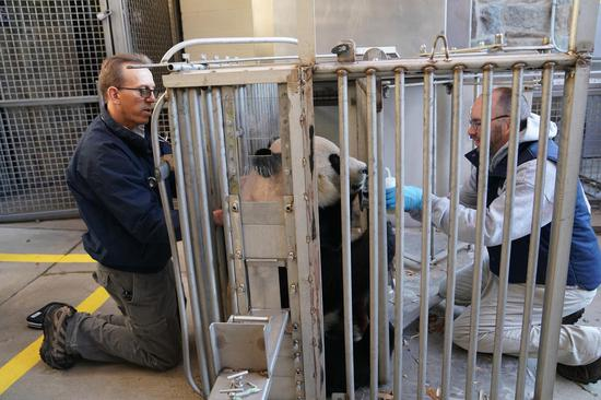 Chief veterinarian of the Smithsonian's National Zoo, Dr. Don Neiffer (L) and his colleague give giant panda Bei Bei a health check at the zoo in Washington D.C. on Nov. 13, 2019. (Xinhua/Liu Jie)