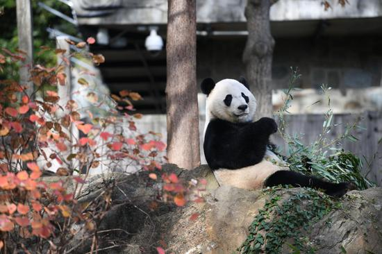 U.S.-born male giant panda Bei Bei is seen at the Smithsonian's National Zoo in Washington D.C. on Nov. 11, 2019. (Xinhua/Liu Jie)