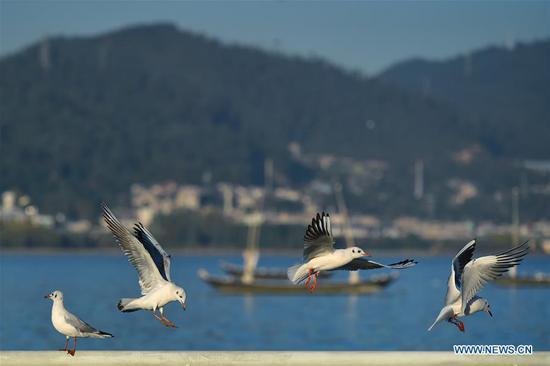 Black-headed gulls rest by the bank of Dianchi Lake in Kunming, southwest China's Yunnan Province, Nov. 17, 2019. (Xinhua/Li Mangmang)