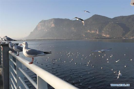 Black-headed gulls rest by the bank of Dianchi Lake in Kunming, southwest China's Yunnan Province, Nov. 17, 2019. (Xinhua/Jin Linpeng)
