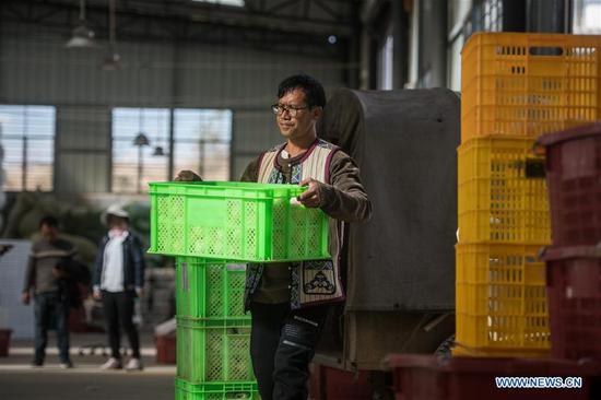 Villager Zhang Jianwei carries pepino melons at a farmers' specialized cooperative in Luhua Village of Xijiekou Township in Shilin Yi Autonomous County, southwest China's Yunnan Province, Nov. 30, 2019.